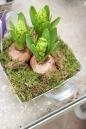 brotes-en-maceta-Las-flores-de-los-jacintos-marzo-en-forma-de-racimos.-Todas-ellas-del-mismo-color[1]
